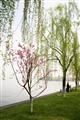 岸邊桃花柳樹