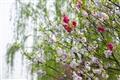 桃花與柳樹