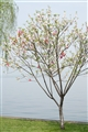 岸邊桃花樹