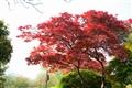 艷紅的楓樹葉