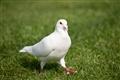 草地上的白鴿