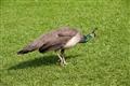 園區飼養的孔雀