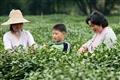 孩童與媽媽正採茶體驗