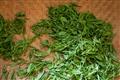 尚未炒過的翠綠茶葉