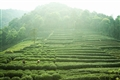 梅家塢山坡翠綠的茶園景觀