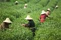 採茶婦女專注地工作