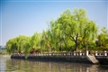 運河旁的柳樹垂岸