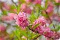 美麗脫俗的桃花
