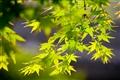 鮮綠的楓葉