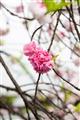 桃花處處飄香