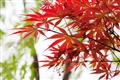 艷紅的楓葉
