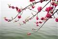 桃花似柳枝垂向水面