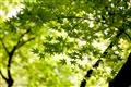 園內楓葉綠意盎然