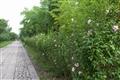 綠意盎然的花牆小徑