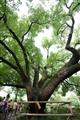 數百年的香樟樹
