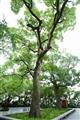數百年歷史的樟樹