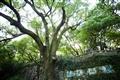 七百年歷史的香樟樹